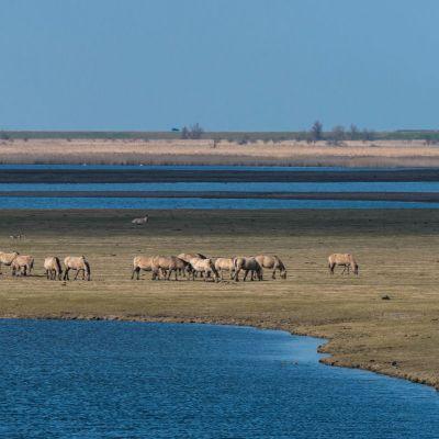 <strong>De konikspaarden in het landschap van de Oostvaardersplassen</strong>