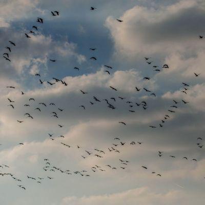 <strong>Vliegende gansen van de Oostvaardersplassen</strong>