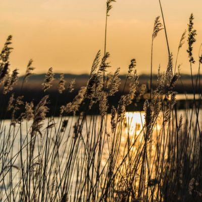 <strong>Riet in het landschap van de Oostvaardersplassen</strong>