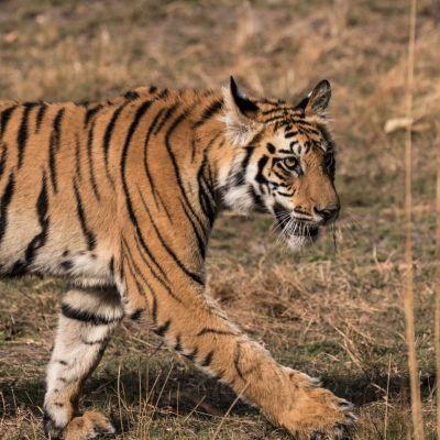 <strong>Bengaalse tijger in het Bandhavgarh national park India</strong>