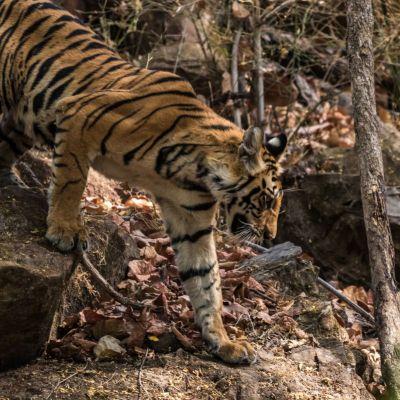 <strong>Bengaalse tijger (Bandhavgarh India)</strong>