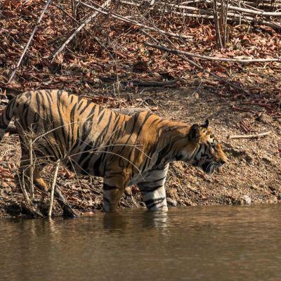 <strong>Bengaalse tijger in het water van het  Bandhavgarh national park India</strong>