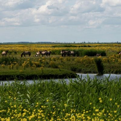 <strong>Landschap met de Konikspaarden in de Oostvaardersplassen</strong>