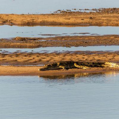 <strong>krokodil (South en North Luangwa Zambia)</strong>