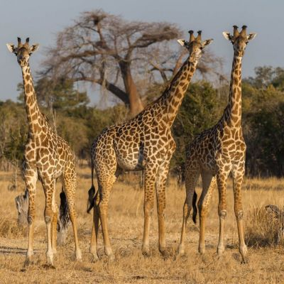 <strong>Giraffe in het South Luangwa National Park Zambia</strong>