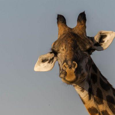 <strong>Giraffe in het South Luangwa National Park Zambia</strong>
