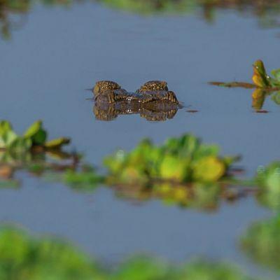<strong>De ogen van krokodil boven wat in het South en North Luangwa Natinal Park Zambia</strong>