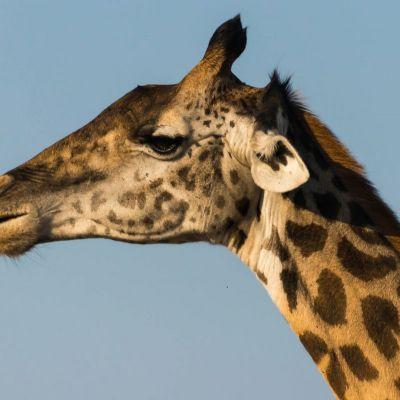<strong>Portret van een giraffe in het South Luangwa National Park Zambia</strong>