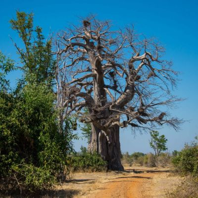 <strong>Baobab Boom in South Luangwa National Park Zambia</strong>