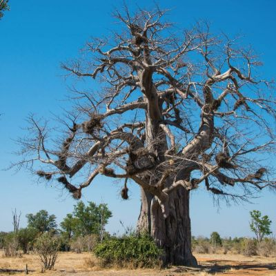 <strong>Baobab boom in het South Luangwa National Park Zambia</strong>
