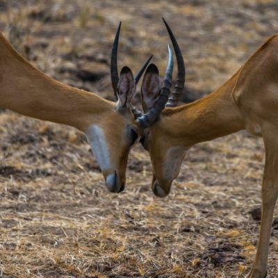 <strong>Twee bokkende gazelle,s in het South Luangwa National Park Zambia</strong>