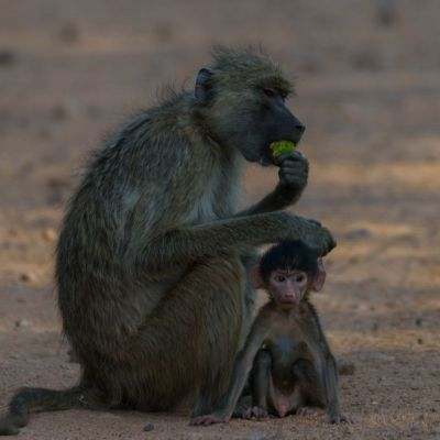 <strong>Portret van een aap met een klein aapje  in het South Luangwa National Park Zambia</strong>