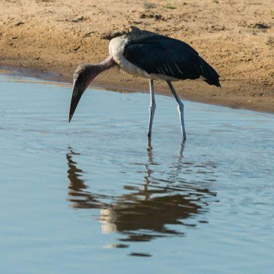 <strong>Afrikaanse maraboe die zichtzelf in de weerspiegeling van het water ziet South Luangwa National Park                                    in het South Luangwa National Park Zambia</strong>