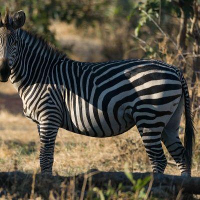 <strong>Zeebra in het South Luangwa National Park Zambia</strong>
