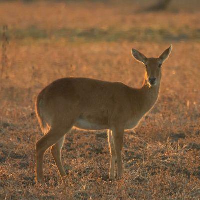 <strong>Gazelle kin het ochtendlicht van het South Luangwa National Park Zambia</strong>
