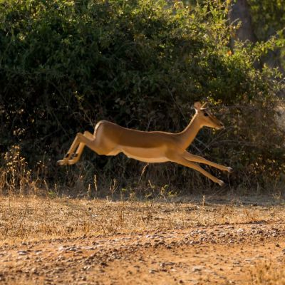 <strong>Springende gazelle in het South Luangwa National Park Zambia</strong>