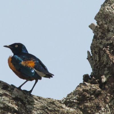 <strong>Driekleurige glansspreeuw in het Tarangire National Park Tanzania</strong>