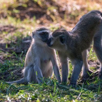 <strong>Twee kleine aapjes aan het knufelen bij Track and Trail Rivercamp Zambia</strong>