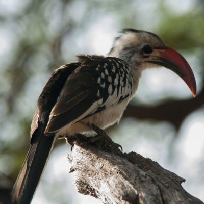 <strong>Von der Deckens tok in het Tarangire National Park Tanzania</strong>