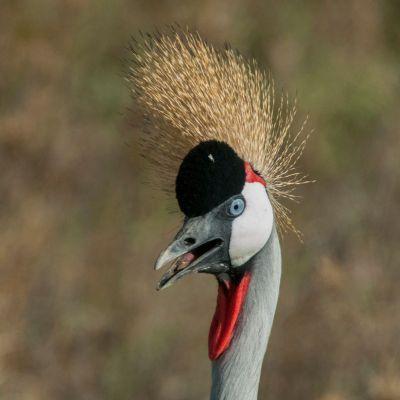 <strong>Grijze kroonkraan in het Serengeti National Park Tanzania</strong>