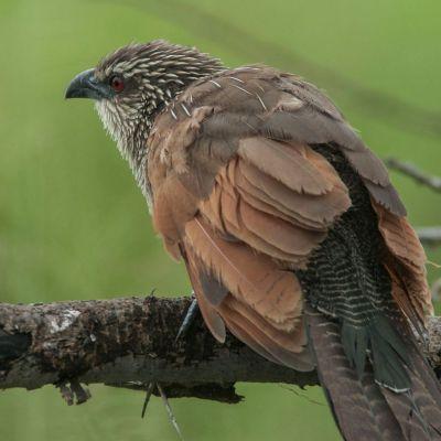<strong>wenkbrauw spoorkoekoek in het Serengeti National Park Tanzania</strong>
