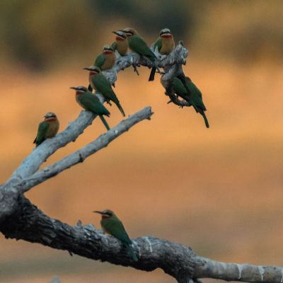 <strong>Groene bijeneter,s op een tak  in het South Luangwa National Park Zambia</strong>