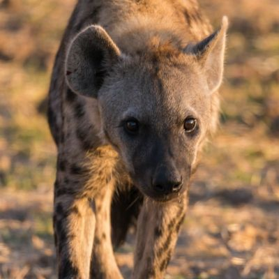 <strong>hyena in het South Luangwa National Park Zambia</strong>