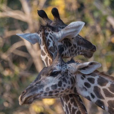 <strong>Giraffe,s in het South Luangwa National Park Zambia</strong>