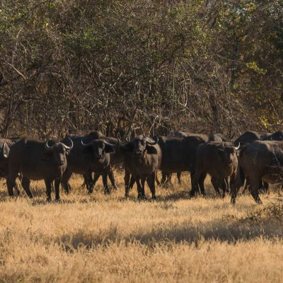 <strong>Kudde buffel,s  in het South Luangwa National Park Zambia</strong>