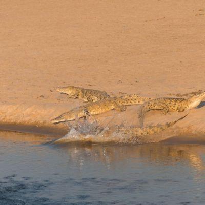 <strong>Speterende Krokodillen in het South en North Luangwa Natinal Park Zambia</strong>