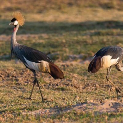 <strong>Grijze kroonkraan in het South Luangwa National Park Zambia</strong>