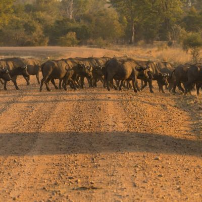 <strong>Overstekende kudde buffel,s  in het South Luangwa National Park Zambia</strong>