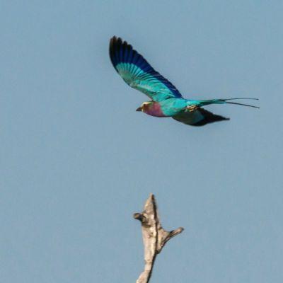 <strong>Vliegende vorkstaartscharrelaar  in het South Luangwa National Park Zambia</strong>