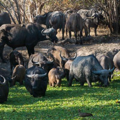 <strong>Kudde buffel,s in een waterpool in het South Luangwa National Park Zambia</strong>