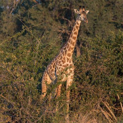 <strong>Giraffe op de uitkijk in het South Luangwa National Park Zambia</strong>