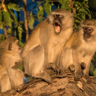 <strong>Apen in de boom van het South Luangwa Natinalpark Zambia</strong>