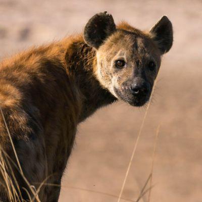 <strong>Portret van een hyena in het South Luangwa National Park Zambia</strong>