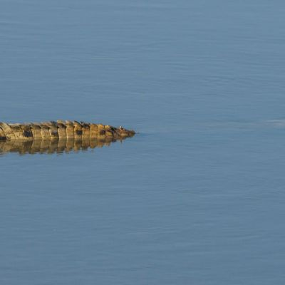 <strong>Krokodil boven water in het South en North Luangwa Natinal Park Zambia</strong>