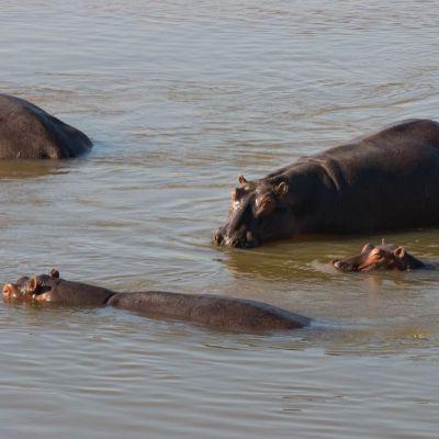 <strong>Nijlpaarden in het South Luangwa National Park Zambia</strong>