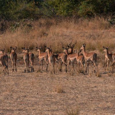 <strong>Gazelle,s op de uitkijk voor het luipaard in het South Luangwa National Park Zambia</strong>