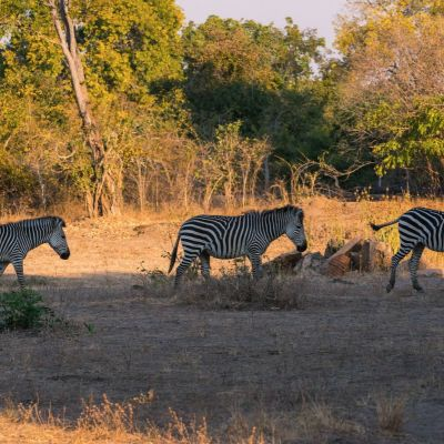 <strong>Zeebra,s in het South Luangwa National Park Zambia</strong>