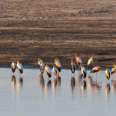 <strong>Roze pelikanen in het South Luangwa National Park Zambia</strong>