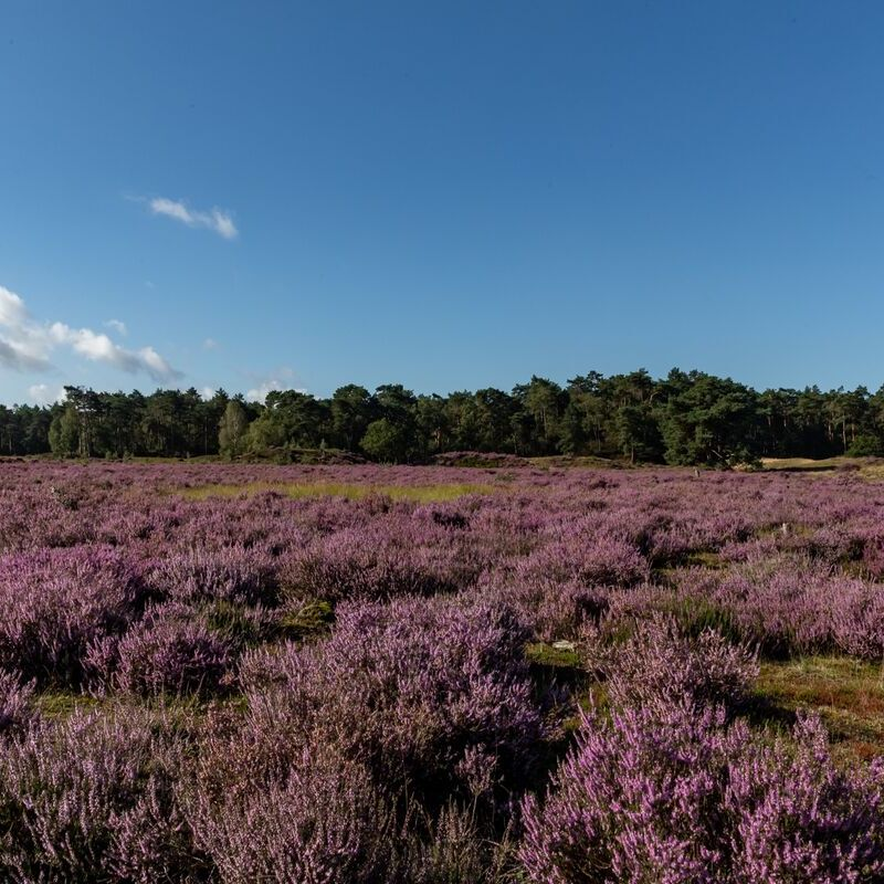 <strong>Heide (Leuvenumse Bos Harderwijk)</strong>