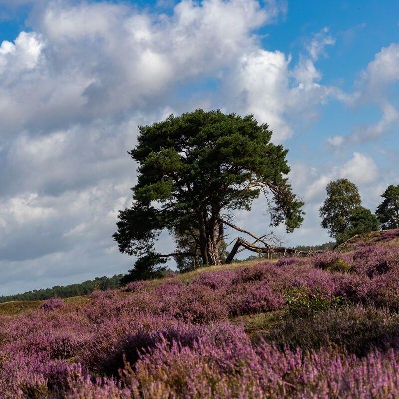 <strong>Heide (Leuvenumse bossen)</strong>