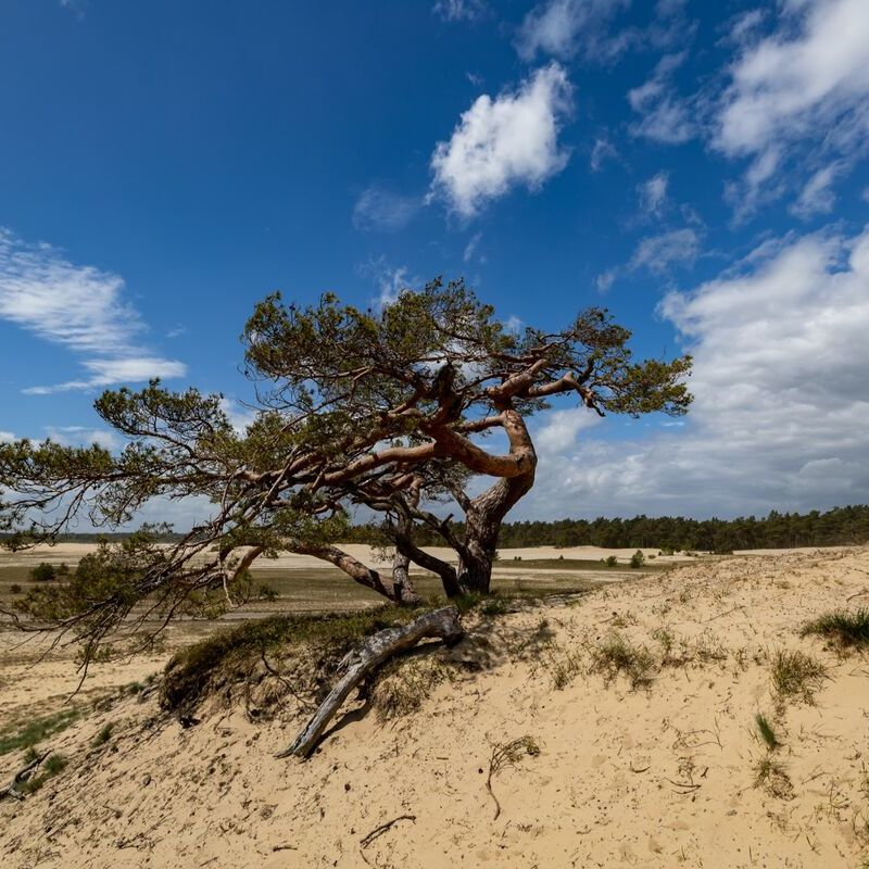 <strong>Grove Den (Zandverstuiving Beekhuizerzand Harderwijk)</strong>