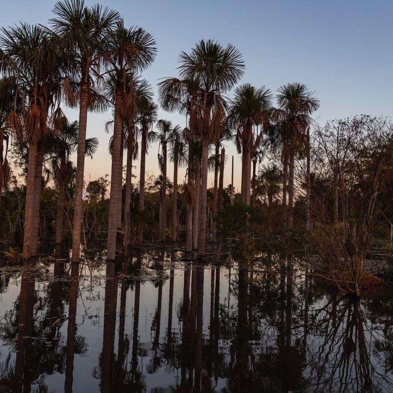 <strong>Sabal Palmetto (Pantanal Mato Grosso Brazilië)</strong>