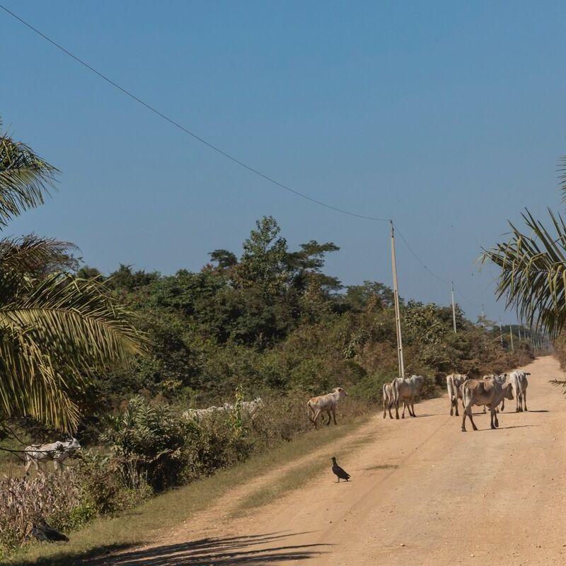 <strong>Runderen (Pantanal Mato Grosso Brazilië)</strong>