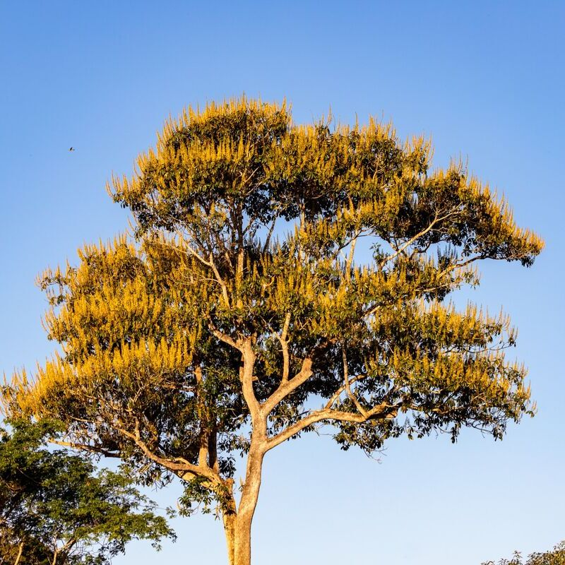 <strong>Grove Den  (Pantanal Mato Grosso Brazilië)</strong>