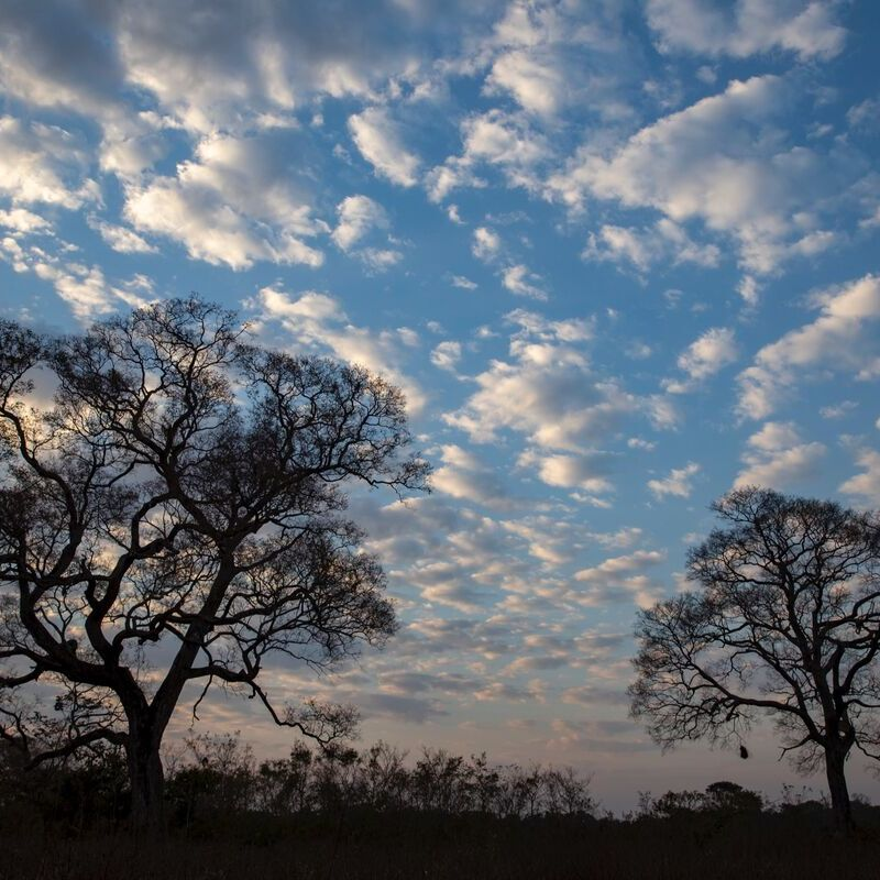 <strong>Afrikaanse Baobab (Pantanal Mato Grosso Brazilië)</strong>